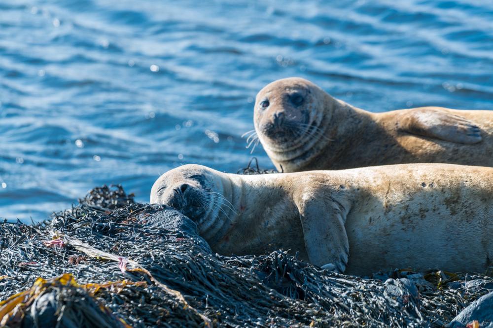 seals iceland