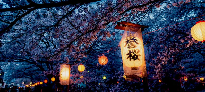 Cherry blossoms at night with lanterns in trees